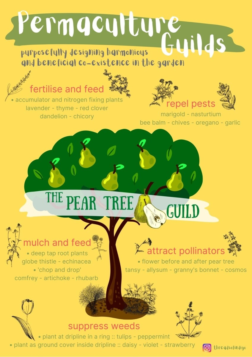 Pear Tree Guild - Permaculture