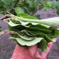 apple leaf uses