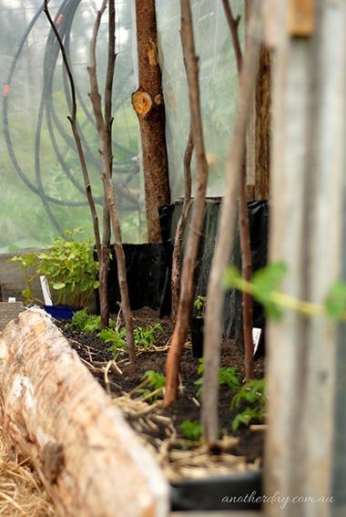 planting tomatoes in tasmania